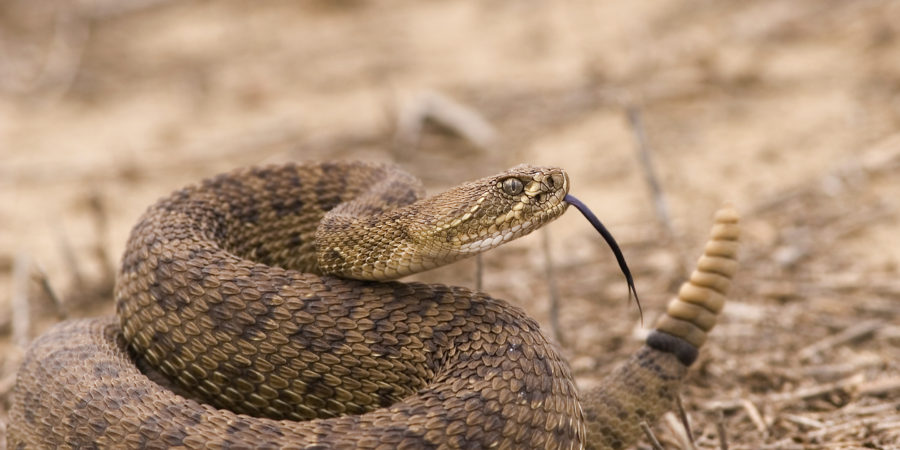 arizona-home-rattlesnake